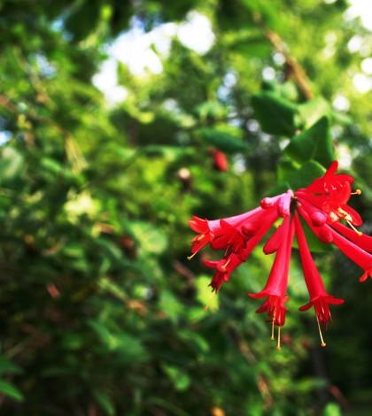Coral honeysuckles in Bernheim forest photo by Sarah Rohleder